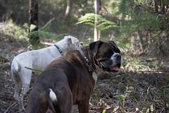 Smile of appreciation (Painful, slow internet:() Tags: ddogchal boxer dog walk