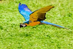 Blue-and-yellow Macaw, Ai in Flight : ルリコンゴウインコのアイの飛翔 (Dakiny) Tags: 2018 autumn october japan kanagawa yokohama asahiward park city street outdoor zoo yokohamazoologicalgardens zoorasia creature animal bird bokeh nikon d750 sigma apo70200mmf28exdgoshsm sigmaapo70200mmf28exdgoshsm