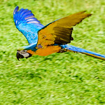 Blue-and-yellow Macaw, Ai in Flight : ルリコンゴウインコのアイの飛翔 thumbnail