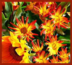 Brilliant Autumn Mums (Lynn English) Tags: autumnssbrilliantorangeyellow show