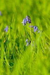_DSC0976 (gael.lebrun56) Tags: fleur colza rape beez flower macro insect