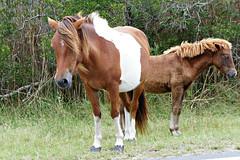 Get my good side, pal. (Throwingbull) Tags: assateague island national seashore beach ocean atlantic park pony ponies horse horses wild wildlife
