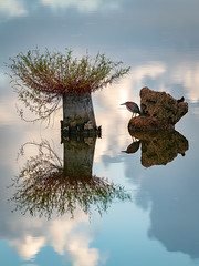 Green Heron still life (Ed Rosack) Tags: greenheron vierawetlands tree water calm wetland viera reflection 22bitternsheronsandallies bird centralflorida nature usa ©edrosack florida butoridesvirescens grhe marsh swamp melbourne us