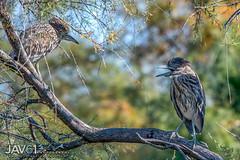 Dispute between juveniles-1217 (George Vittman) Tags: bird heron egret water marsh nikonpassion wildlifephotography jav61photography jav61 fantasticnature