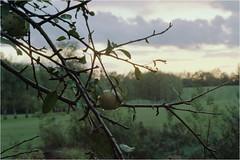 About wild apple / O dzikim jabłku (Piotr Skiba) Tags: apple landscape film kodakportra siemianowice śląskie poland pl piotrskiba