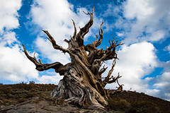 Ancient Bristlecone: White Mountains, California (jp rho) Tags: tree pine california whitemountains ancientbristleconepineforest bristlecone ancient