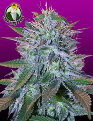 White-Widow (Watcher1999) Tags: white widow feminized seeds marijuana cannabis thc weed medical growing strain plant weeds smoking ganja legalize it