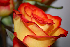 Rose. (dccradio) Tags: lumberton nc northcarolina robesoncounty indoor indoors inside rose roses flower floral flowers pretty beauty beautiful nature yellow orange red bouquet october tuesday evening autumn fall wall nikon d40 dslr