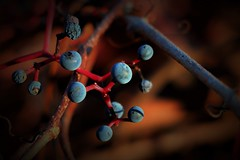 wild fruits (C.DeR) Tags: fruits nature autumn cder bokeh macro plant plants canon80d