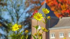 Yellow Flowers - 6019 (ΨᗩSᗰIᘉᗴ HᗴᘉS +24 000 000 thx) Tags: flower florayellow hensyasmine namur belgium europa aaa namuroise look photo friends be wow yasminehens interest intersting eu fr greatphotographers lanamuroise