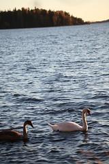 IMG_7854 (pekka.jarvelainen) Tags: joutsen swan vene auringonlasku sunset