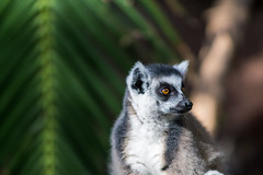 Lemur (Eklis273) Tags: fuerteventura vacation urlaub holiday oasispark zoo lemur animal tier green white black brown grün weis schwarz braun natur nature lebewesen outdoor availablelight tageslicht sonnenlicht daylight sunlight insel island kanaren canaries kanarischeinseln canaryislands sonya6000 samyang65mm dof