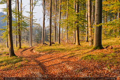 Podzim v bučině (jirka.zapalka) Tags: forest beech trees kudlovskavrchovina nature morava czechrepublic autumn evening