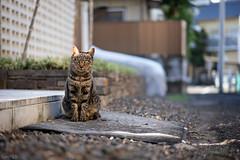 猫 (fumi*23) Tags: ilce7rm3 a7r3 animal alley sony street sel55f18z 55mm katze gato neko sonnartfe55mmf18za sonnar zeiss cat chat bokeh depthoffield dof ねこ 猫 ソニー