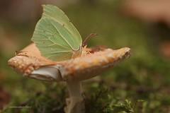 When summer meets autumn ( magical moment) (Manon van der Burg) Tags: zoietsverzinjeniet magical sigma105mm canon80d paddenstoelenjacht forest macrolover macrophotography happydays flabbergasted wonderlijk nophotoshop eindzomer herfst paddenstoel vliegenzwam flyagaric citroenvlinder brimstone