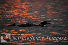 Common Loon adult male calling at sunset Tekiela STEK1612 (Stan Tekiela's Nature Smart Wildlife Images) Tags: allrightsreserved authornaturalistwildlifephotographer avian birds feathers birding wildlife commonloongaviaimmer minnesota unitedstatesofamerica usa naturesmartimagesbystantekiela stantekiela copyright allrightsreservered stockimage professionalphotographer images animals nature naturalist wild stockphotos digitalimages critter stockimages
