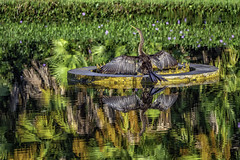 Anhinga Reflections (Charles Patrick Ewing) Tags: bird birds animal animals nature natural reflection reflections grass tree trees water outdoor beautiful beauty colorful colors green morning fave faves favorites best all everything new palm palms lake river photography nikon usa naples florida landscape landscapes art artistic fine