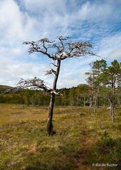 Alleen (riader2010) Tags: boom tree noorwegen bos bomen norge landschap landscape arcticland clouds wolken
