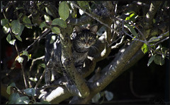 Spy (anna punx) Tags: oporto portugal cat tiger tabby gato tigre arbol tree leaves hojas trepar climb stare mirar espia spy brown green marron verde nature naturaleza animal