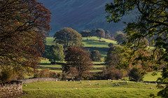 High Fold (ianrwmccracken) Tags: sunshine sheep landscape lakedistrict fold cumbria panorama graze morning tree rural countryside green england telephoto field sigma 150600mmf563c nikon