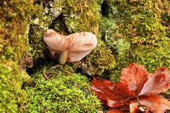 Seta - Mushroom (R. M. Marti) Tags: seta hongos mushroom musgo vegetación agua reflejo moss vegetation water reflection