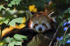 Kleiner Panda (Michael Döring) Tags: gelsenkirchen bismarck zoomerlebniswelt zoo kleinerpanda firefox afs600mm40e d850 michaeldöring