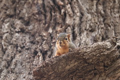 Squirrels in Ann Arbor at the University of Michigan - October 17th, 2018 (cseeman) Tags: gobluesquirrels squirrels annarbor michigan animal campus universityofmichigan umsquirrels10162018 fall autumn eating peanut acorns octoberumsquirrel mugs foxsquirrels easternfoxsquirrels michiganfoxsquirrels universityofmichiganfoxsquirrels