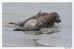 Un après-midi avec les phoques 6 (C. OTTIE et J-Y KERMORVANT) Tags: nature animaux mammifères mammifèresmarins phoques phoquescommuns veauxmarins merdunord allemagne