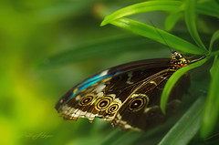 Tattered Wings (shutterbugbekkie) Tags: macro bugs butterflies butterfly wings