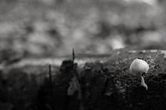 Oudemansiella mucida (RW-V) Tags: canoneos70d canonefs35mmf28macroisstm palaisparchetloo palaceparkhetloo oudemansiellamucida porcelainfungus agaricusmucidus collybiamucida armillariamucida mucidulamucida porcelainmushroom beechtuft poachedeggfungus champignon fungus pilz mushroom paddestoel nb bw sw zw noiretblanc monochrome forêt forest wald bos automne autumn herbst herfst sooc 100faves 150faves 175faves 200faves 225faves 250faves