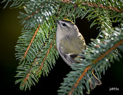 Golden-crowned Kinglet (jt893x) Tags: 150600mm bird d500 goldencrownedkinglet jt893x kinglet nikon nikond500 regulussatrapa sigma sigma150600mmf563dgoshsms songbird thesunshinegroup alittlebeauty coth coth5 sunrays5