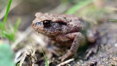 Erdkröte (Bufo bufo) (seyf\ART) Tags: tiere animals amphibien wald forest macro nahaufnahmen helios44 natur nature