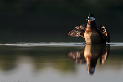Ruddy Duck - Érismature Rousse (www.andrebherer.com) Tags: bird birds oiseau nature duck canard ruddyduck érismaturerousse faune barboteurs abitibi abitibitemiscamingue quebec canada andrebherer