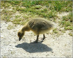 Little Gosling .. (** Janets Photos **) Tags: uk nature goslings geese ponds lakes