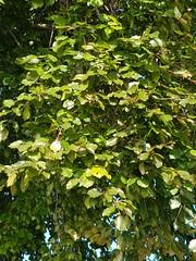 Fagus sylvatica Fagaceae-European beech 8 (SierraSunrise) Tags: europe switzerland plants trees beech europeanbeech fagus fagaceae