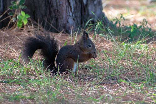 Veverica / squirrel