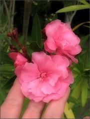 (Tölgyesi Kata) Tags: botanikuskert botanicalgarden withcanonpowershota620 leander tuzsonjánosbotanikuskert nyíregyháza summer nyár hand kéz pinkflower