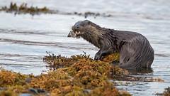 Eurasian Otter (coopsphotomad) Tags: otter mammal scotland predator nature animal wildlife canon fish wild fur brown water swim lutra seaweed colour teeth