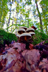 Nel Bosco (Arcieri Saverio) Tags: calabria italia sila funghi fungo buonafamiglia ordinari faggeta faggi autunno bosco woods alberi faggio natura natual nature paesaggio macro nikon sigma 1020mm sigma1020mm montagna mounatins