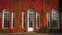 The Red Weed (Rob Pitt) Tags: burton manor autumn wirral cheshire england uk rob pitt photography sony a7rii red leaves window 2870 fe