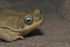 PVA_5064W Dhofar Toad - Duttaphrynus dhufarensis ( was: Bufo Dhufarensis), UAE mountains (Priscilla. Busy on projects.) Tags: dhofartoadduttaphrynusdhufarensis bufodhufarensis uaemountains toad duttaphrynus arabiantoad toadsofthearabianpeninsula bufo