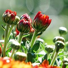 Chrysanthemums in Sunlight (SkyeHar) Tags: blumen chrysanthemums mums macro makro flower flowers red green colorful sonya6300 sel55210 detail dof bokeh sunlight buds fall