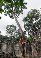 Temple overgrown with tree roots, Siem Reap Province, Angkor, Cambodia (Eric Lafforgue) Tags: abandoned ancientcivilisation angkor angkorwat apsara archaeology architecture artscultureandentertainment asia beautyinnature buddhism buddhist builtstructure cambodia colourimage environment famousplace history indochina khmer lush majestic monument nopeople oldruin outdoors rediscovered religion root ruin southeastasia spirituality temple templebuilding tetramelesnudiflora traditionallycambodian tranquility travel traveldestinations tree unescoworldheritagesite vertical wat yasodharapura camboimg9630 siemreapprovince