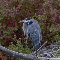 Grumpy old Blue (John Andersen (JPAndersen images)) Tags: alberta bird bridge calgary city colour day elbowriver fall gbh morning nature skyline sunrise trees