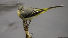 i look up to you (blackfox wildlife and nature imaging) Tags: panasonicg80 leica100400 greywagtail bpw wales wildlife
