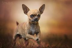 (Cristina Laugero) Tags: chihuahua dog cane perro chien little piccolo small portrait ritratto petrait run correre