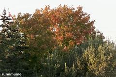 Autumn Leaves (rumimume) Tags: potd rumimume 2017 niagara ontario canada photo canon 80d sigma fall autumn outdoor leaf colour day tree 2018