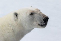 Polar Bear Portrait (alicecahill) Tags: arctic svalbard norway ©alicecahill mammal scandinavia cold origoexpedition wild wildlife travel portrait face bear snow europe polarbear animal