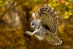 Inbound (Earl Reinink) Tags: owl woods forest trees branches fall autumm bird animal barredowl nature wildlife outdoors earl reinink earlreinink flight flying hrhddadaza