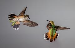 Rufous and Broad-tailed Hummingbirds-9463 (Eric Gofreed) Tags: arizona broadtailedhummingbird hummingbird multiflashphotography mybackyard rufoushummingbird sedona villageofoakcreek